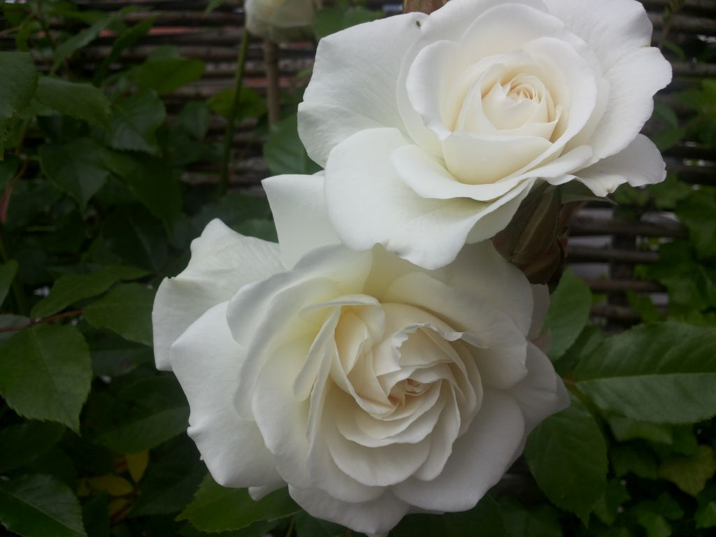 rozen-walcheren.jpg